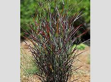 Panicum virgatum, Hot Rod PPAF Perennial Plants at