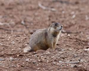 Mammals on Monday-Gunnison's Prairie Dogs | Photo Flurries