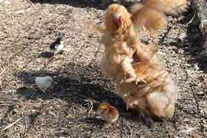 Broody Hens: The Ultimate Mothers   PetHelpful