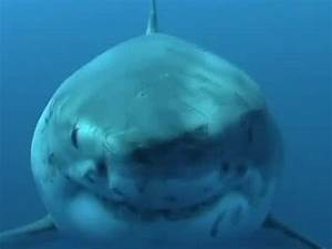 The Importance Of Great White Sharks