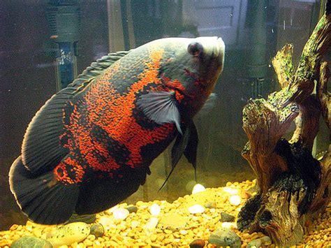 freshwater fish talk tiger oscar south american cichlid