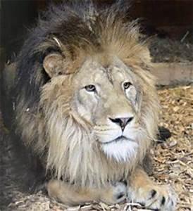Borne Free Lyon : born free simba the lion heads home ethos marketing ~ Medecine-chirurgie-esthetiques.com Avis de Voitures