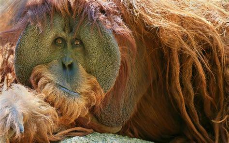 Gazgas Monkey 110 Image by Orangutan Hd Wallpaper Background Image 2560x1600 Id
