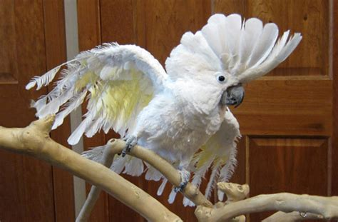 cockatoo size facts care behavior  picture petworlds