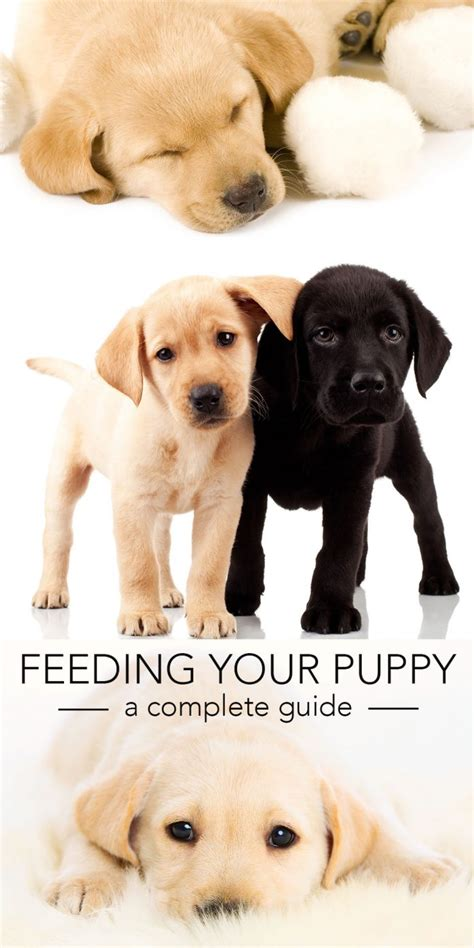 feeding  labrador puppy full guide  diet chart
