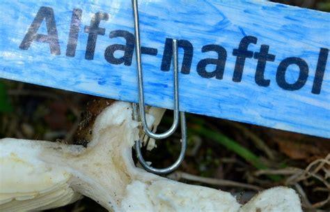 bio-forum.pl: Gołąbki spod brzóz (Russula exalbicans)