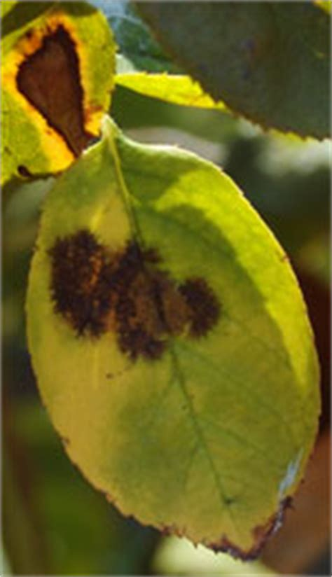 black spot common disease roses tx texas plant disease