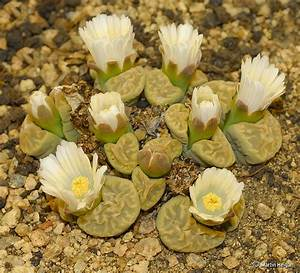 31 best images about lithops on Pinterest | Stone cactus ...