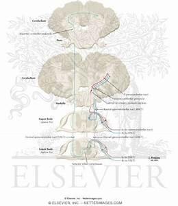 Somatosensory System: Spinocerebellar Pathways