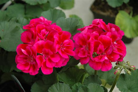 care of pelargoniums gordon rigg the hub growing and caring for your geranium
