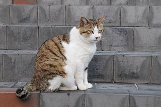 feline hypoglycemia  symptoms treatment studycom
