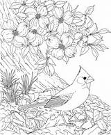 Cardinal Coloring Pages Bird Flower North Carolina Dogwood Blossom Printable Colouring Adult State Supercoloring Printables Virginia Nc sketch template