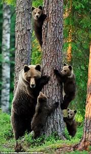 Three Work Related Skills Erik Mandre Photographs A Bear Watching Her Cubs Climb