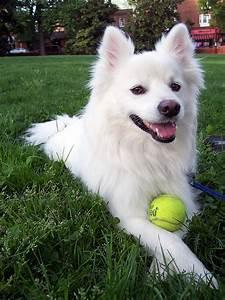 File:American-Eskimo-dog.jpg - Wikimedia Commons