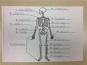 Cramer  Mrs     Grade 4 Skeletal System