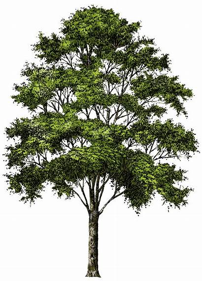 Tree Transparent Trees Photoshop Cut Newdesignfile Via