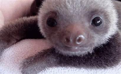 Sloth Gifs Animal Sloths Giphy Slow Adorable