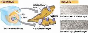 Structural Biochemistry  Lipids  Membrane Fluidity