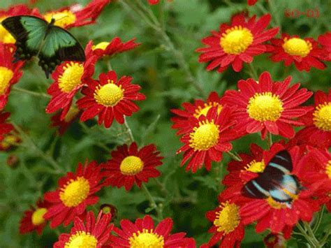 butterflies gifs find share  giphy