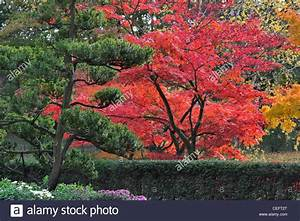 Rote Blätter Baum : immergr ner baum und glatte japanische ahorne acer ~ Michelbontemps.com Haus und Dekorationen