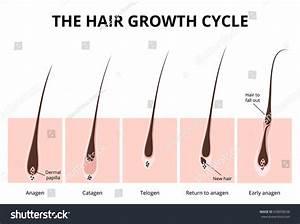 Hair Anatomy Diagram - Geoface #502e91e5578e