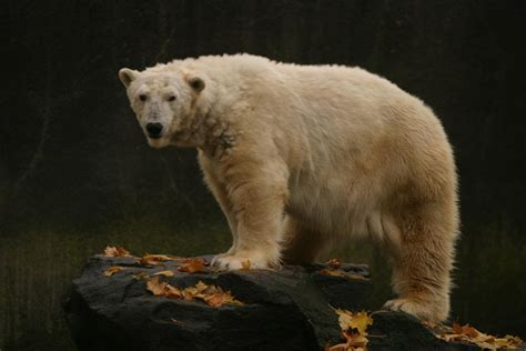 polar tundra zoo bear bronx bears nyc expectancy suffering average last york beloved dies lived kidney captivity acute longer five
