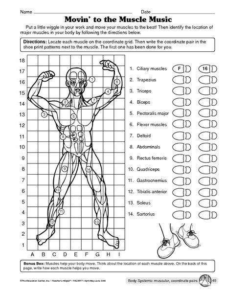 muscular system worksheet health aula
