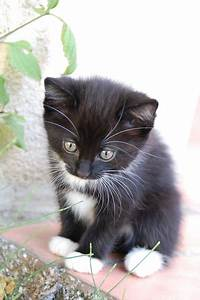 the tuxedo cat cat breeds encyclopedia