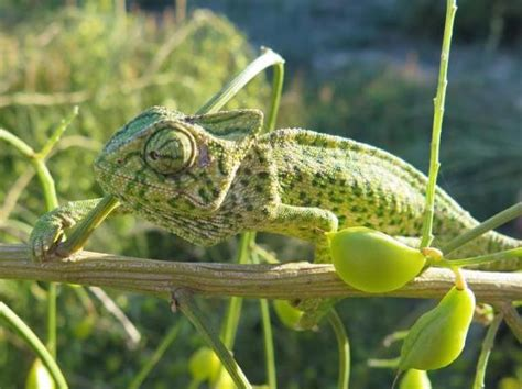 chameleon change color why can a chameleon change color answers and facts