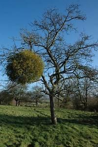 Apple tree with mistletoe, Apperley © Philip Halling ...