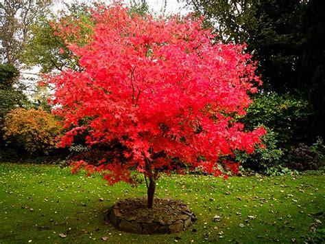 japanese maple shrub osakazuki japanese maple the tree center