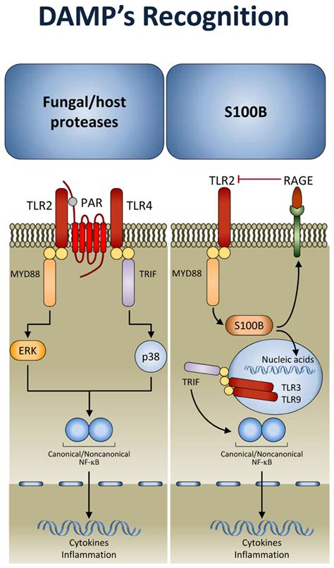 frontiers damp signaling  fungal infections