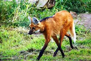 Maned wolf (Chrysocyon brachyurus). | pgcps mess - Reform ...