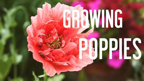 grow poppies  seeds youtube