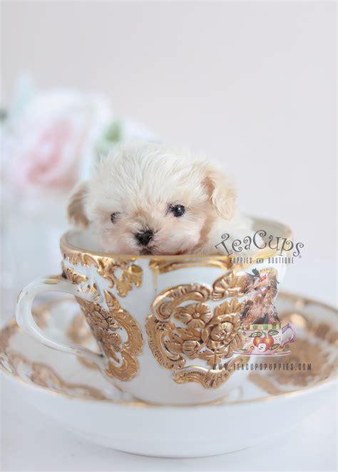 black maltese poodle designer breed puppies teacups