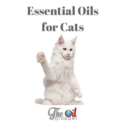 essential oils cats can you use essential oils with cats the oil dropper