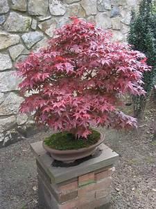 Bonsai Gakusei: Red Maple (Acer Rubrum)