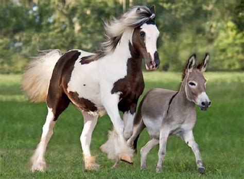 mini donkeys burros horse donkey miniature gypsy vanner horses burro pony foal miniatura caballo cheval os called difference cantering hor