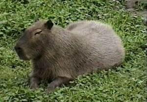 Rainforest Animals Capybara