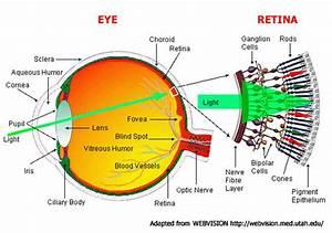 Eyes Diagram Rods Cines : peripheral vision ~ A.2002-acura-tl-radio.info Haus und Dekorationen