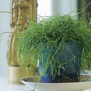Plantes Et Jardin : rhipsalis plantes et jardins ~ Melissatoandfro.com Idées de Décoration