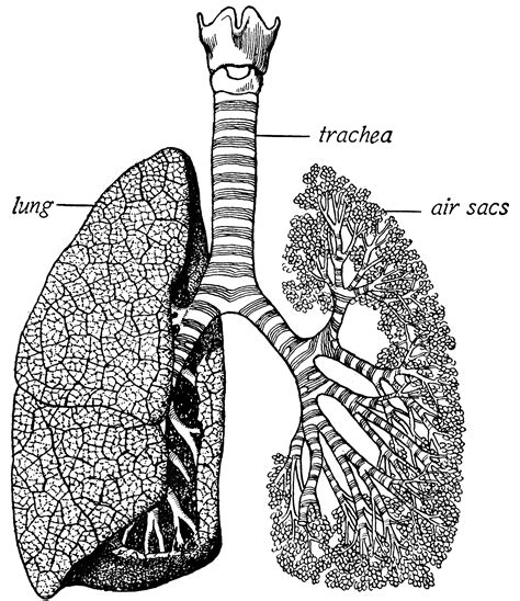 trachea  lungs clipart