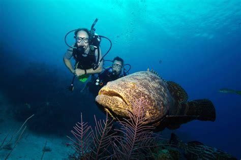 grouper goliath catch fl divers biggest they pound species them fishermen enormous