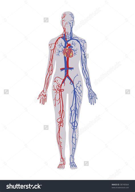 human vein clipart clipground