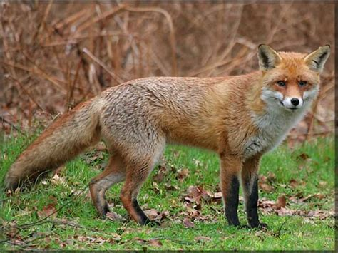 what do foxes eat are foxes a threat to cats a study by certified cat behaviourist anita kelsey anita kelsey