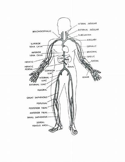Human Coloring Pages Anatomy Muscles Organs Veins