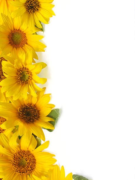 sunflower border stock  pictures royalty