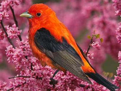Bird Tanager Scarlet Wallpapers Birds Wildlife Tanger