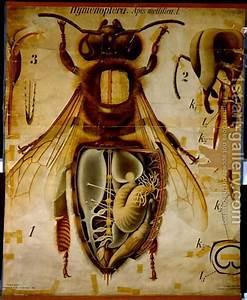 Anatomy Of The Honey Bee  No 13  Pfurtschellers Zoological