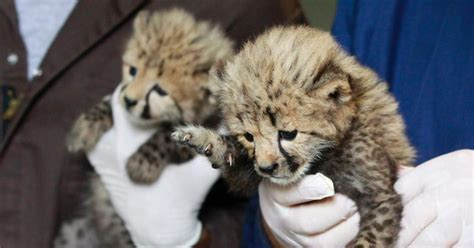 Cheetah cubs find new home at National Zoo after 'rare and ...